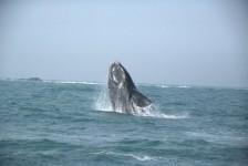 Comissão Internacional da Baleia acontece pela primeira vez no Brasil