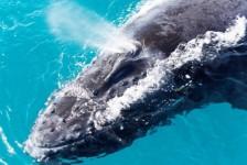ICMBio proíbe turismo embarcado na Área de Proteção da Baleia Franca