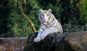 Beto Carrero World traz tigres brancos para o zoo do parque