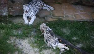 Beto Carrero World revela primeira ninhada de tigre branco nascido no Brasil