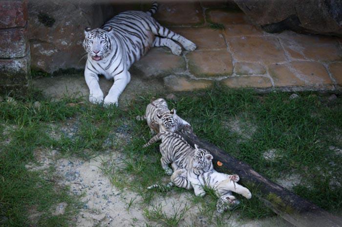 Após o nascimento, os três filhotinhos precisaram ficar em quarentena com a mãe (Amal)