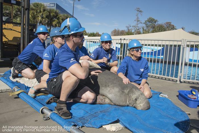 Peixe-boi de 329 quilos está recebendo cuidados no hospital de tratamento intensivo do parque