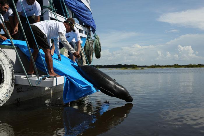 Peixe boi e reintroduzido a natureza no lago do Trapinho localizado na Reserva de Desenvolvimento Sustentavel Piagacu-Purus, municipio de Anori. Ao todo foram 12 animais devolvidos a natureza, reabilitados pelo Projeto Mamiferos Aquaticos da Amazonia em parceria com a AMPA (Associacao Amigos do Peixe Boi) e Inpa (Instituto Nacional de Pesquisas da Amazonia). Apos a soltura os animais sao monitorados por telemetria pelos pesquisadores com apoio dos proprios ribeirinhos que antes cacavam o animal e hoje ajudam na conservacao da especie. O peixe boi e um dos animais mais ameaçados de extincao da Amazonia pois tem o homem como seu grande predador. REUTERS/Bruno Kelly.