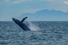 Observação de baleias movimenta turismo da costa brasileira