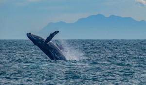 Temporada de observação de baleias tem início no Brasil