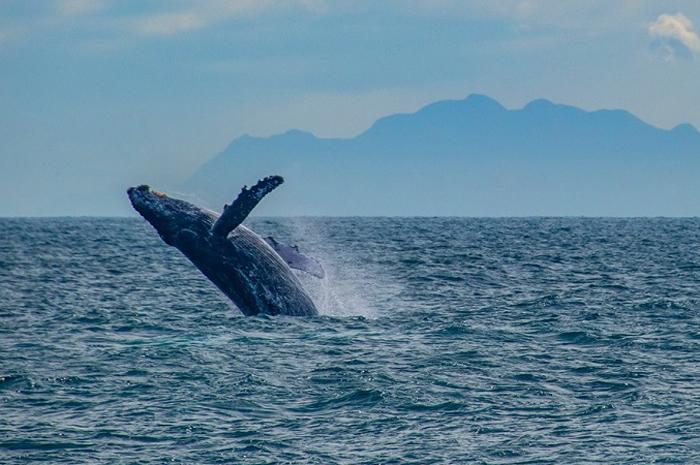 Do nordeste ao sul do Brasil, a temporada de whale watching possui embarcações regulamentadas para atender os turistas.