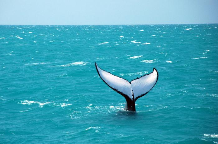 O evento, que tem característica itinerante, ocorrendo sempre no período em que as baleias jubarte migram para o litoral baiano para reprodução, tem o patrocínio do Governo do Estado . (Divulgação)