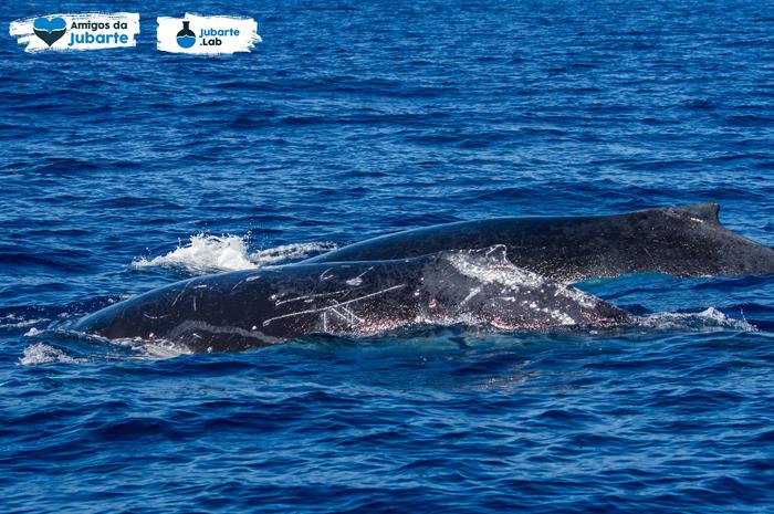 Na temporada de 2018, entre os meses de junho e novembro, 893 turistas, a bordo de 38 expedições, tiveram a oportunidade de observar as baleias que visitaram o litoral capixaba