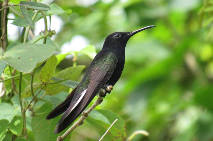 Pássaro beija-flor-preto (Foto: Aurélio Rufo)