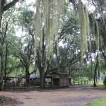 """As famosas árvores """"barba-de-velho"""" são encontradas por todo o Sul dos Estados Unidos"""