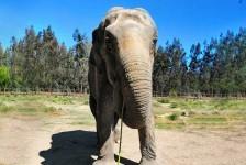Viracopos prepara operação especial para receber a elefanta Ramba