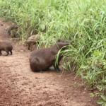 Durante o safári, existe a possibilidade de ver animais típicos da região como ossibilidade de ver capivaras, jacarés, martinho pescador, ariranhas e cervos