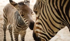 Animal Kingdom inicia 2020 com chegada de dois novos filhotes