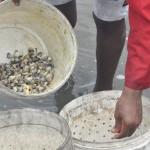 A pesca dos mariscos e sururus é a principal atividade economica da ilha