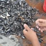 O processo da pesca até a venda dos mariscos leva o dia inteiro, e o quilo do produto custa em torno de R$12