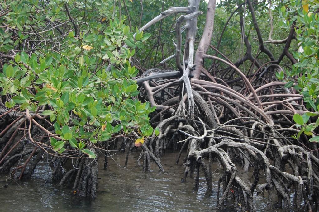 Manguezal do rio Maracaípe é o berçário de espécies como o cavalo-marinho
