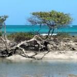 Vegetação típica de mangue nos arrecifes de Carneiros