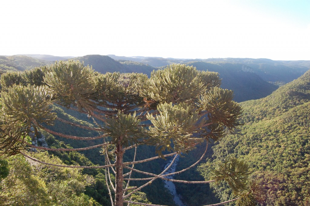Araucária ou pinheiro-brasileiro  e o rio Caí ao fundo