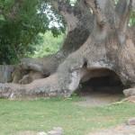 Gruta entre raízes de Umbu onde família de imigrantes morou por dois anos