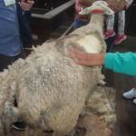 Ovelha tosquiada para demonstração