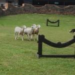 Pastoreio Border Collie