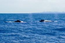 Salvador tem primeira temporada turística de observação de baleias
